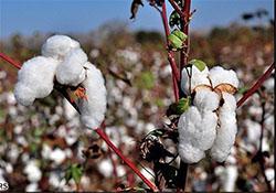 برگزاري سمینار بررسی راهکارهای تولید پنبه پایدار در داراب