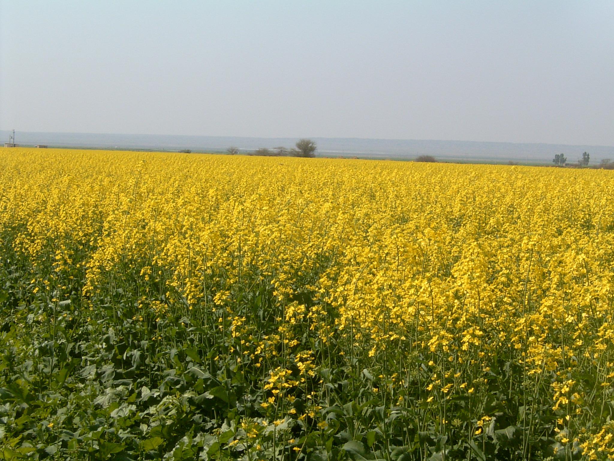با هدف قطع وابستگی کشور به واردات روغن خوراکی ؛ کارگاه آموزشی کاشت داشت و برداشت دانه روغنی کلزا در منطقه گرم استان فارس در داراب برگزار شد