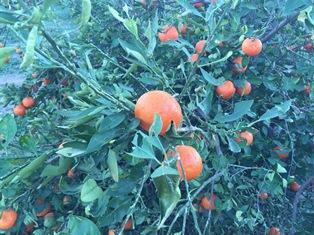 خسارت سنگین  سیل و تگرگ به باغات داراب