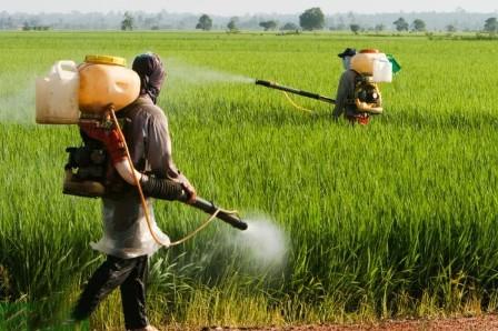 مزارع گندم داراب علیه سن  گندم سمپاشی شد
