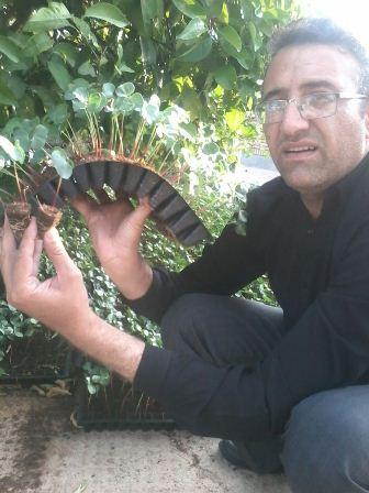 واکاری مزارع تنک شده پنبه داراب با استفاده از نشاهای تولیدی