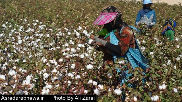 مدیر جهاد کشاورزی داراب: امسال ۱۰۰ هکتار از مزارع پنبه  کشت مکانیزه می شود/  ارزش ریالی پنبه خریداری شده داراب ۱۵ میلیارد تومان است
