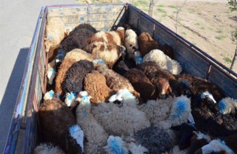مدیرکل تعزیرات حکومتی فارس اعلام کرد: کشف ۶۵ رأس گوسفند قاچاق در داراب