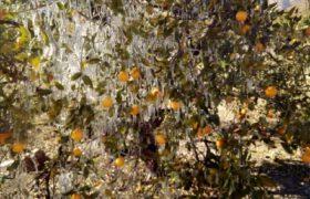 رئیس جهاد کشاورزی داراب: سرمای بی سابقه به ۴۲۰۰ هکتار از باغات مرکبات داراب ۳۰۸ میلیارد تومان خسارت زده است