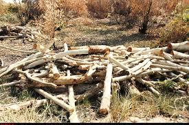 علت قطع درختان اکالیپتوس در جاده مادوان مشخص شد