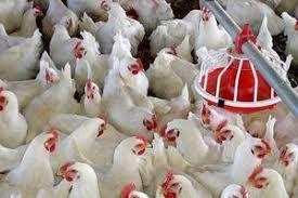 قیمت هر کیلوگرم مرغ در فارس، ۲۴۵۰۰ تومان اعلام شد